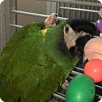 Macaw for adoption in Punta Gorda, Florida - Bud
