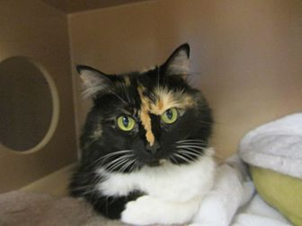 Domestic Mediumhair Cat for adoption in Kingston, Washington - Princess Mia Sassypants