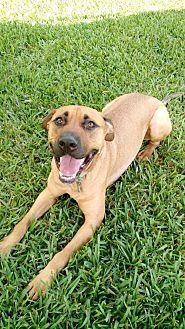 Rhodesian Ridgeback Dog for adoption in Davie, Florida - Raj