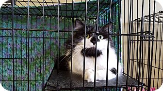 Domestic Shorthair Cat for adoption in SHELBY TWP, Michigan - Spook