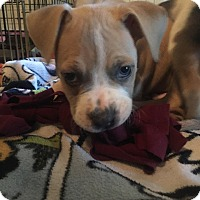 Adopt A Pet :: PUPPIES - Available Soon! - Lincoln, CA