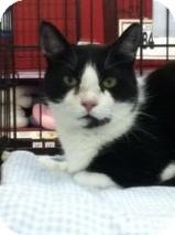 Domestic Shorthair Cat for adoption in Riverside, Rhode Island - Winston