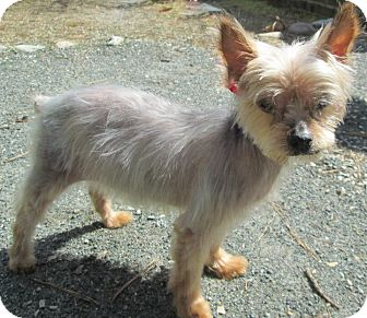 Yorkie, Yorkshire Terrier Dog for adoption in Forked River, New Jersey - Mandy