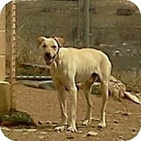 Adopt A Pet :: Arrow - Golden, CO