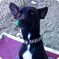 Adopt A Pet :: CHOPPER - Coudersport, PA