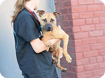 American Pit Bull Terrier Mix Dog for adoption in Brooklyn, New York - Darling