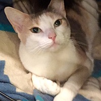 Domestic Shorthair Cat for adoption in Harrison, New York - Ellie