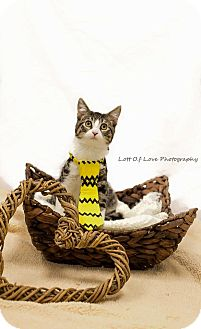 Domestic Shorthair Cat for adoption in Jerseyville, Illinois - Daga