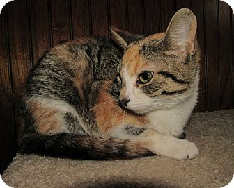 Calico Kitten for adoption in Norwich, New York - Rhea