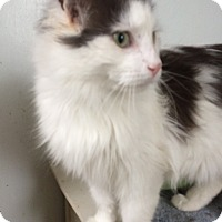 Domestic Longhair Cat for adoption in Toledo, Ohio - Minx