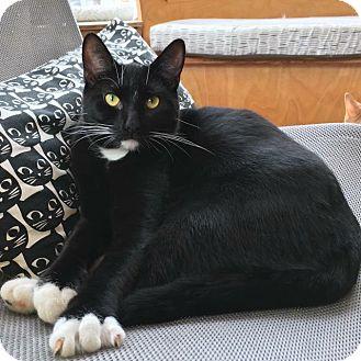 Domestic Shorthair Cat for adoption in St. Louis, Missouri - Junior