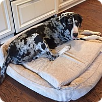 Great Dane Mix Dog for adoption in Indianapolis, Indiana - Diesel