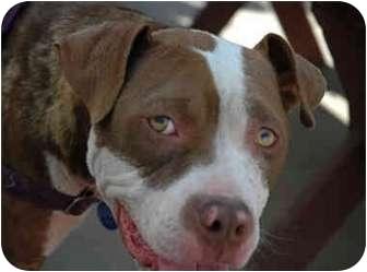 Staffordshire Bull Terrier Dog for adoption in Portland, Oregon - Bridget