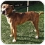 Photo 1 - American Pit Bull Terrier/Great Dane Mix Dog for adoption in Fowler, California - Tiger