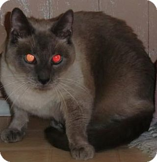 Siamese Cat for adoption in Crescent City, California - LOLO