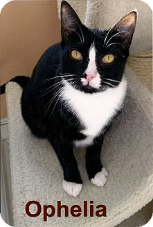 Domestic Shorthair Cat for adoption in Medway, Massachusetts - Ophelia
