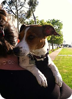 Jack Russell Terrier Puppy for adoption in Los Angeles, California - Daisy