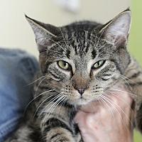 Domestic Shorthair Kitten for adoption in Westchester, California - Bobbi