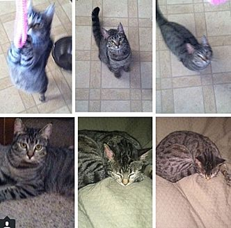 Domestic Shorthair Cat for adoption in Monrovia, California - Lil
