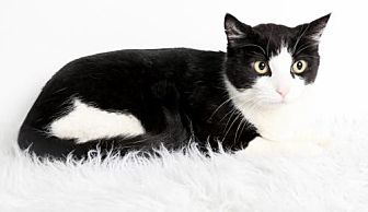 Domestic Shorthair Cat for adoption in Roseville, California - Monster