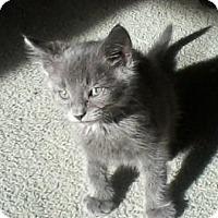 Adopt A Pet :: Blue Boy - Kirkwood, DE