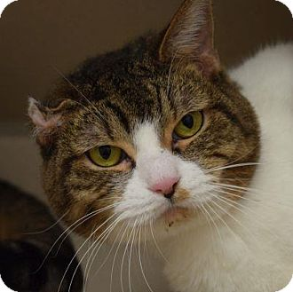 Domestic Shorthair Cat for adoption in Denver, Colorado - Devyn