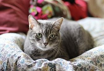 Domestic Shorthair Cat for adoption in Fresno, California - Macey