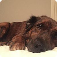 Adopt A Pet :: Valentino - Austin, TX