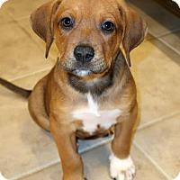 Adopt A Pet :: Chaz - York, PA