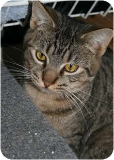 Domestic Shorthair Cat for adoption in Frederick, Maryland - Sace