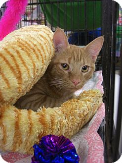 Domestic Shorthair Cat for adoption in Chesapeake, Virginia - Frito