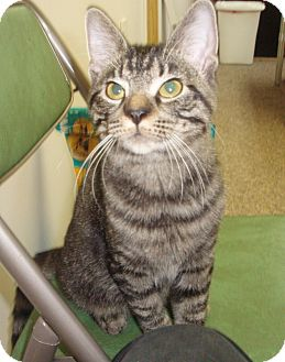 Domestic Shorthair Cat for adoption in Germansville, Pennsylvania - Tiny