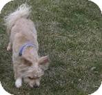 Papillon/Bichon Frise Mix Dog for adoption in Laingsburg, Michigan - Duffy