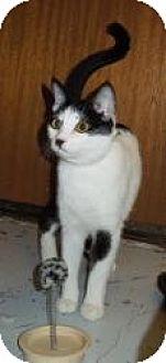 Turkish Van Cat for adoption in Mission Viejo, California - Mia