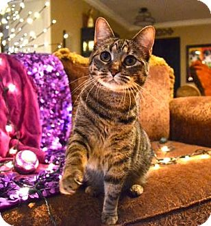 Domestic Shorthair Cat for adoption in Dallas, Texas - Ally