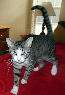 Domestic Mediumhair Cat for adoption in Melbourne, Arkansas - PATTY