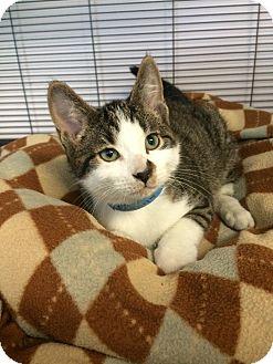 Domestic Shorthair Kitten for adoption in University Park, Illinois - Sid