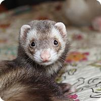 Adopt A Pet :: Latte - Chantilly, VA