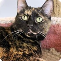 Domestic Shorthair Cat for adoption in Palatine, Illinois - Georgia
