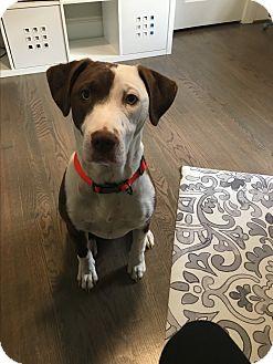 Labrador Retriever/Hound (Unknown Type) Mix Dog for adoption in Fredericksburg, Virginia - Indianna(cinnamon)