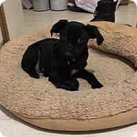 Adopt A Pet :: Preston - Antioch, IL