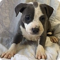 Pit Bull Terrier Mix Puppy for adoption in San Pablo, California - CHELSEA