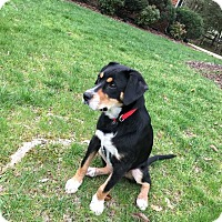 Hound (Unknown Type) Mix Puppy for adoption in MCLEAN, Virginia - Shana
