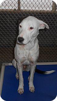 Pointer/Pit Bull Terrier Mix Dog for adoption in Leesburg, Virginia - Sunshine