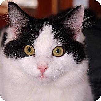 Domestic Longhair Cat for adoption in Ventura, California - Twaine