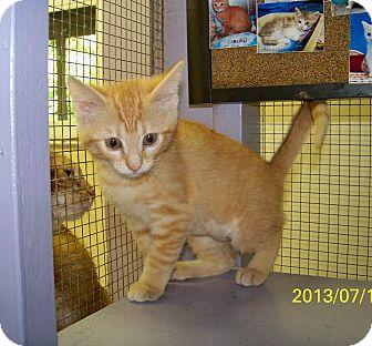 Domestic Shorthair Kitten for adoption in Dover, Ohio - Lola