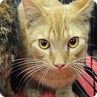 Adopt A Pet :: Marmalade - Port Republic, MD