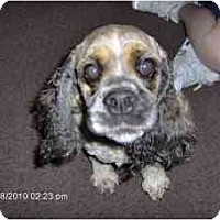 Adopt A Pet :: Essance - Tacoma, WA