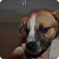 Adopt A Pet :: Daisy - Westminster, CO
