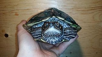 Turtle - Other for adoption in Pefferlaw, Ontario - Tortuga